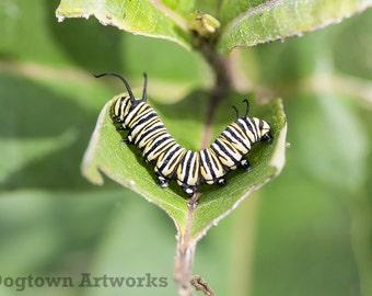 U-Turn, large original photograph of monarch caterpillar as it turns around to eat more milkweed leaf