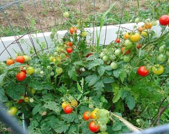 Tiny Tim Dwarf cherry tomato