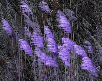 Purple Reeds In The Wind Violet Blue photography Purple Blue  Foliage