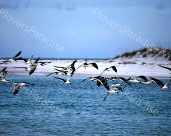 Black Skimmer Photograph // Black Skimmers Flying over Beach Photograph Print // Beach Photograph