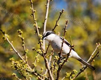 Loggerhead Shrike Photograph // Bird Photo // Pensacola Florida Bird Picture.