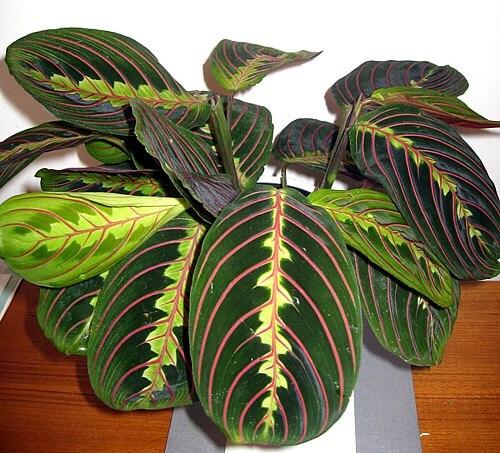 Hirt's Red Prayer Plant Maranta Easy To Grow By HirtsGardens