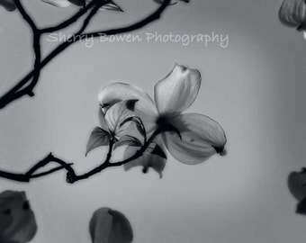 Black and White Dogwood Bloom, Fine Art Photography, Nature Photography, Tree Blossom, Dogwood Print, Dogwood Photography, Dogwood, Spring,
