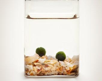 Luck in a Bottle - Marimo Moss Ball Aquatic Terrarium