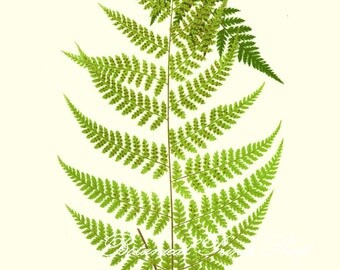 Botanical Print. Fern Print No.1. Hypolepis. Ferns. Fern Wall Art. Fern Picture. 8x10""