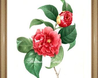 "Botanical Print. Camellia. #1. Floral Wall Art. Antique Flower Print. Camellia Print 5x7"", 8x10"" 11x14"" 13x19"