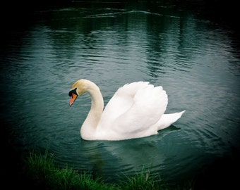 White Swan of Birr Castle Lake, Photography Ireland