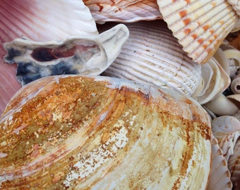 """1 lb Natural SEASHELLS From the Gulf of Mexico ~ Wholesale Price ~ 1"""" to 3"""""""