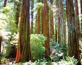 California Redwood Giants, Muir Woods National Monument, California