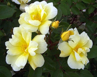 ROSE KNOCKOUT SUNNY, The Rose that keeps blooming! Nice yellow flowers, knockout - ( 1 gallon )