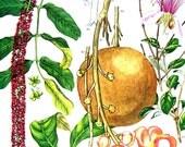 Jaborandi, Cannon Ball Tree - South American Flower  - Botanical Print - 1988 Vintage Flower Print