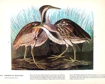 Audubon Birds- American Bittern, Bemaculated Duck-12 x 9-1942 Vintage Print