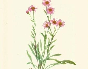 Flower Print - Fleabane - Vintage Wild Flowers Print - Botanical Print - Wild Flowers of America - Golden Aleutian Fleabane - Mary V Walcott