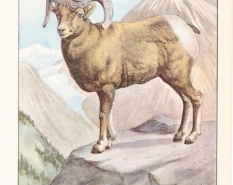 1926 Animal Print - Mountain Sheep - Vintage Antique Natural History Home Decor Art Illustration for Framing