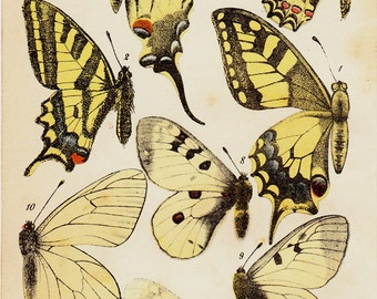 1890 Antique BUTTERFLY print, yellow butterflies, diurnal