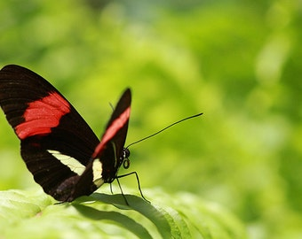 Butterfly Black with Red Wings Macro Photo