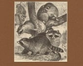 1892 Antique Matted Engraving of Raccoons