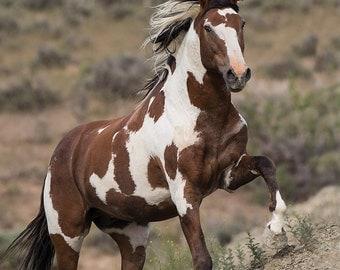 Picasso Runs Up - Fine Art Wild Horse Photograph - Wild Horse - Picasso