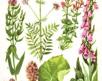 HERBS VALERIAN Vintage Botanical Print Antique, plant print 123 botanical print, bookplate art print, herb plants plant wall print