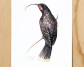 Huia - a native New Zealand bird print