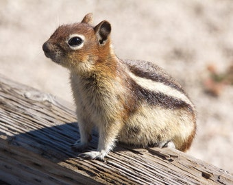 Squirrel Photograph, Animal Photo, Nursery Wall Art, Golden Mantled Ground Squirrel, Brown and Gold Yellowstone Wildlife, Cute Animal Art