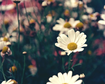Fine Art Photography Digital Download Daisy Daisies Flowerbed Summer Flowers White Printable Art Photo Photograph