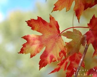 Beautiful Fall Maple Leaves - Fine Art Photograph 8 x 10 Print