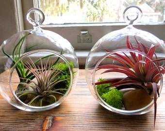 Hanging Air Plant Terrarium - Set of 2 Stunning Terrariums with 3 Air Plants - Fast FREE Shipping - 30 Day Guarantee - Air Plants for Sale