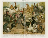 1892 Matted Antique Chicken Print  Poultry Ornithology Birds Hen Chicks Rooster 12 x16""
