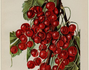 """Matted Antique Fruit Print  """"Diploma Currant""""  U.S. Department of Agriculture Botanical Currants 11 x 14"""""""
