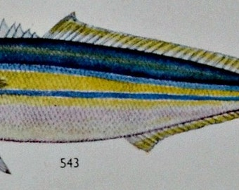 Vintage print. Fish illustration. 65 years old print. 10'5 x 8'6 inches. Color book plate.