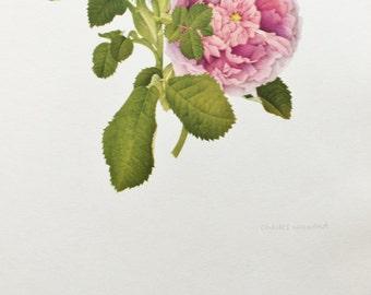 Charles Raymond, Vintage 1950s Botanical Rose Print on High Quality Art Paper, Rosa Gallica Belle de Crecy