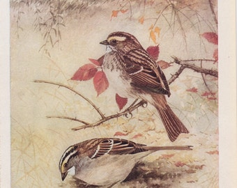 Audubon Bird Print - Vintage Print - 1925 - White-Throated Sparrow