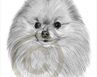 toy dog pomeranian pencil drawing print a4 size artwork signed by artist gary tymon