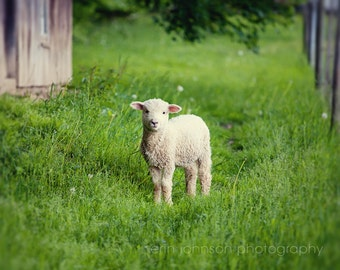 lamb photography, farm decor, rustic wall art, baby animal, nursery fine art, farm animal photography, green decor, baby sheep, Lamb I