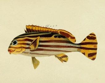 antique fish print, a printabe digital download, DIY home decor, no. 740