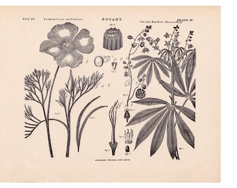 vintage botanical print, Poppy and Cassava plant,   656