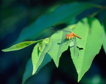 Unmatted Photographic Prints - 3-1/2 x 5 - Dragonflies and Butterflies
