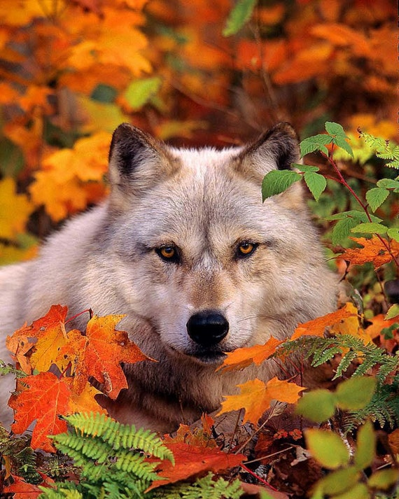 Gray Timber Wolf in Fall Leaves No. 2, 8x10 Wildlife Photography, Animal Photography, Nature Photograph, North Woods, Autumn Foliage, Wolves