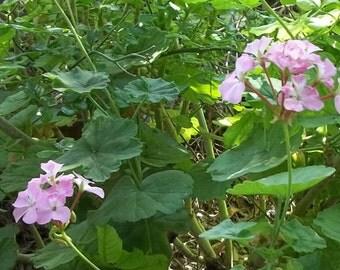 4 Geranium Pelargonium Stem Unrooted Cuttings - Pink