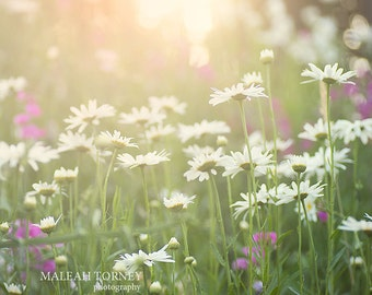 White Daisies Flower Photography - daisy field at sunset nature print - daisy decor