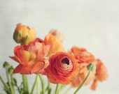 Still life photography ranunculus orange flowers white still life photography floral wall art 8x10 16x20