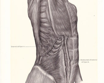 1899 Human Anatomy Print - Ab Muscles - Vintage Antique Medical Anatomy Art Illustration for Doctor Hospital Office