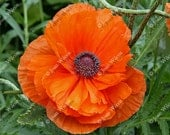 Pretty Orange Poppy Floral Fine Art Photography Photo Print