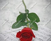 Romantic Red Rose Love and Classical Music Floral Fine Art Photography Photo Print