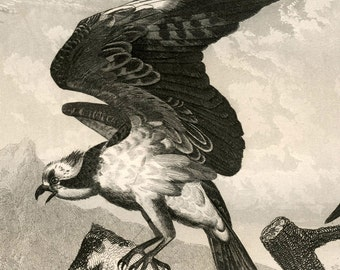 1851 Antique Print of Eagles, Hawks, and Other Birds of Prey