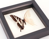 Real Skeleton Butterfly. Cabinet of Curiosity Science Oddity