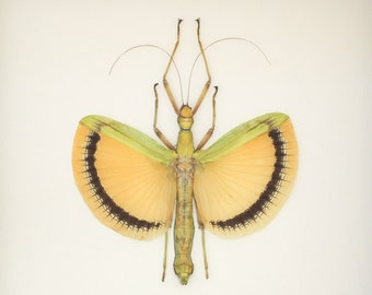 Real Yellow Walking Stick Tagesoidea nigrofasciata Insect Display