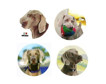 Weimaraner Magnets:  4 Cool Weimaraners for your home, your collection,  or to give as a unique gift