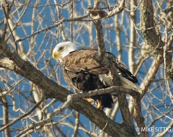 Bald Eagle Photographic Print -  Iowa Eagle - Nature - Wildlife